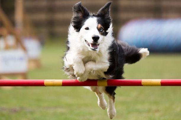 Norjalaiset koirat ovat jälleen tervetulleita ulkomaisiin koiratapahtumiin. Kuvituskuva.
