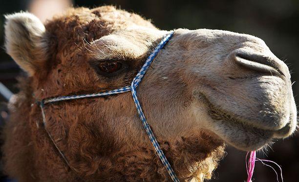 Kamelitutkijat pitävät ehdotusta kamelien tappamisesta typeränä.