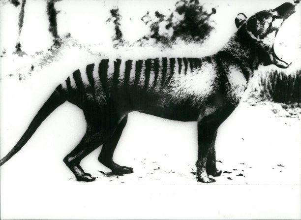 Tasmaniantiikeri on saatu valokuvatuksi viimeksi 1930-luvulla.