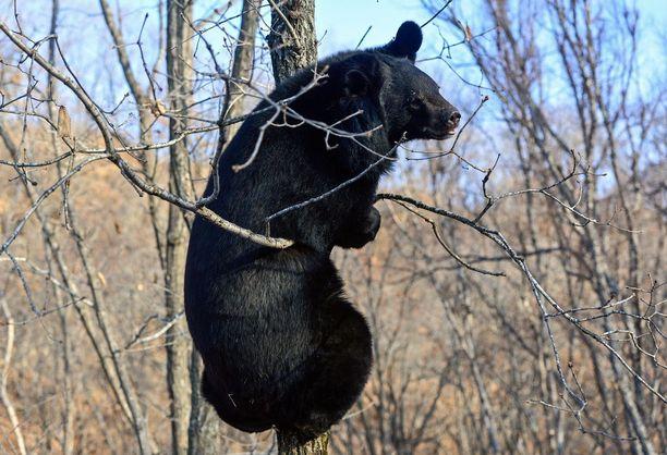 Mustakarhu on Pohjois-Amerikan yleisin karhulaji.