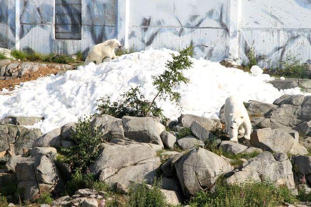 Keskelle kesää tupsahtanut lumi oli jääkarhuille iloinen yllätys, joka aiotaan ottaa Ranuan eläinpuistossa tavaksi.