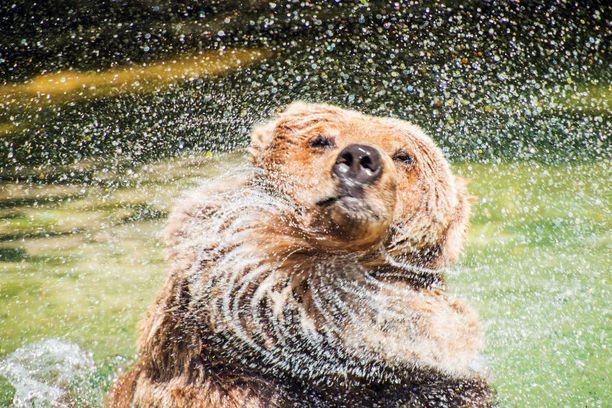Karhu hyökkää ani harvoin ihmisen kimppuun.