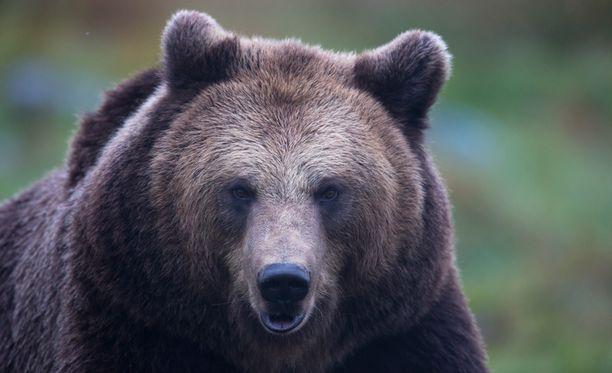 Alue, jolle karhuja on pesiytynyt tiheimmin, on laajentunut voimakkaasti.