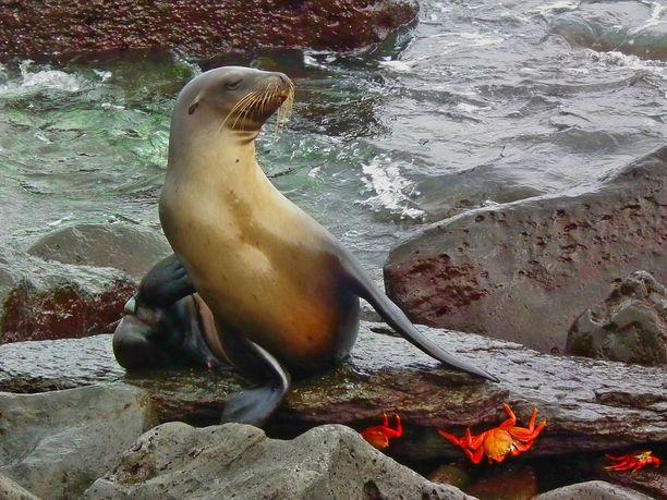 Galapagosin merileijonat ovat fiksuja tiimityöskentelijöitä.
