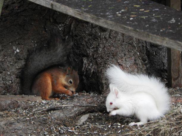 Albiino-orava on Masalinin mukaan hieman muita ruokintapaikalla käyviä oravia arempi.