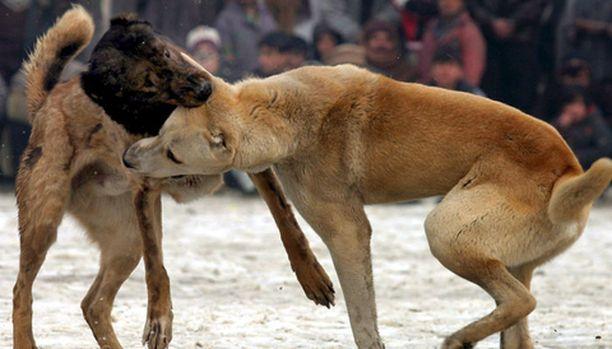 KRP tutkii harvinaista eläinsuojelurikosta. Kuvan koirat eivät liity tapaukseen.