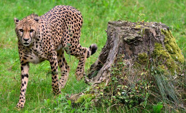 Gepardiaitaukseen pudonnut 2-vuotias selvisi säikähdyksellä. Arkistokuva Erfurtin eläinpuistosta Saksasta.