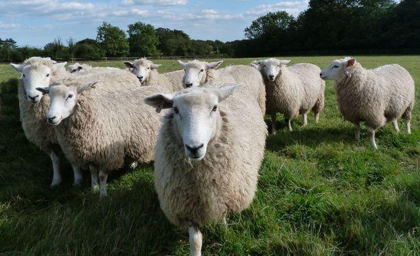 Kaksi lammasta sai haavoja niskaansa, yhdeltä puhkesi silmä. Kuvituskuva.