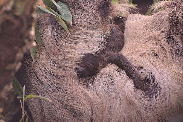 Pikkuruinen laiskiainen elää ensimmäiset viikkonsa täysin emossa kiinni.
