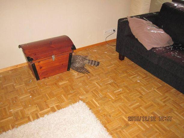 Haukka otti hetken lukua lattialla.