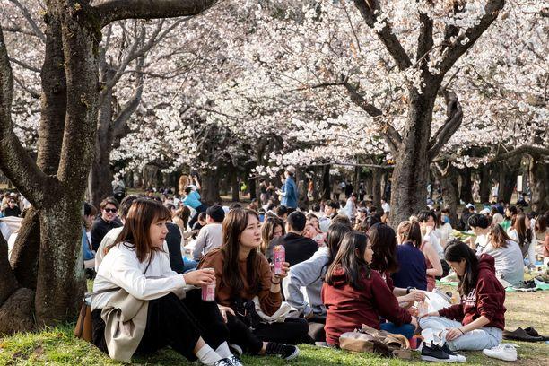 Japanissa kirsikkapuiden kukinta voitti koronapelon.
