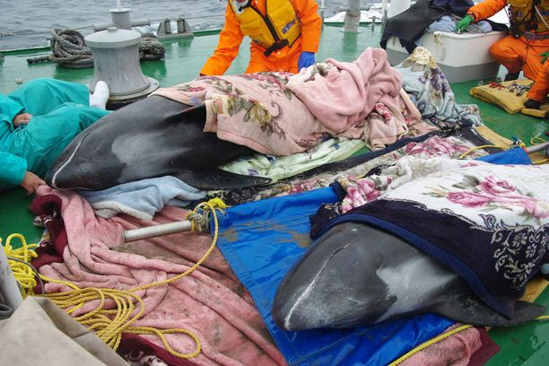 Vain kolme delfiiniä saatiin kuljetettua pidemmälle merelle.
