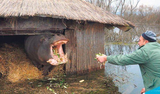 KOTONA Nikica-virtahepo palasi eläintarhaansa seikkailtuaan reilun viikon ajan Plavnican ympäristössä Montenegrossa. Hippo pääsi rankkasateiden aiheuttaman tulvan vuoksi uimaan aitauksensa yli. Eläin herätti lähiseudun asukkaissa kauhua, mutta kukaan ei loukkaantunut pari tonnia painavan kasvissyöjän odysseian aikana.