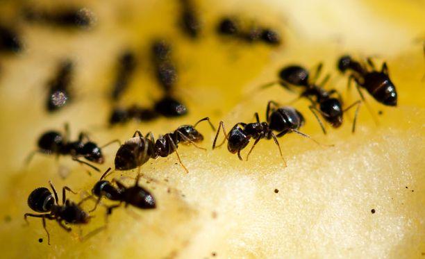 Tänä vuonna muurahaishavaintoja on tehty sisätiloissa helmikuusta asti.