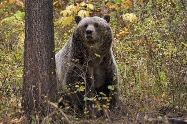 Montanalainen harmaakarhu. Arkistokuva.