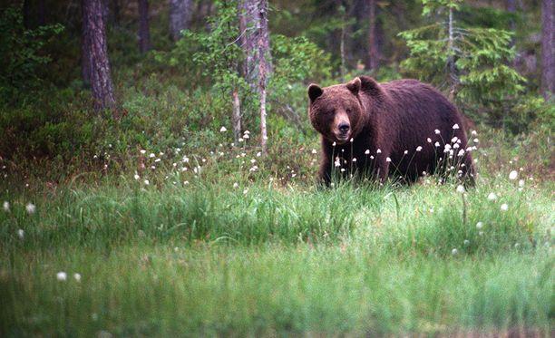 Karhuja voi ihailla keskiyön auringossa.
