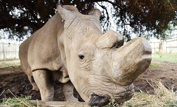 Sudanin lajia on jäljellä enää kaksi yksilöä, kumpikin naaraita.