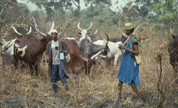 Fulani-paimentolaisheimon ja berom-viljelijäheimon jäsenet ovat ottaneet viime päivinä verisesti yhteen Nigerian keskiosissa. Kuvituskuva fulani-heimosta.