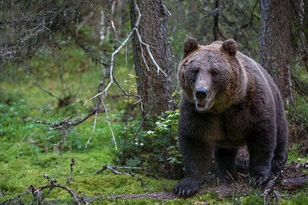 Karhu on Kimmo Ohtosen voimaeläin.