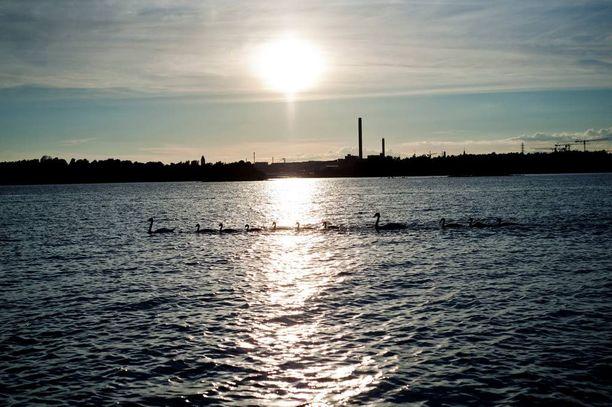 Joutsenperhe ylittää Kruunuvuoren rannan meriteitse.