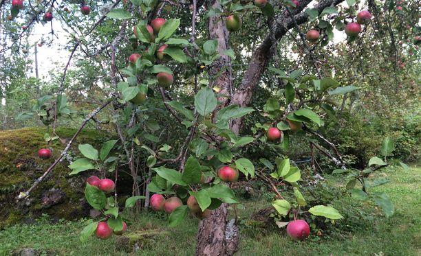 Omenasadon arvioidaan olevan noin viikon etuajassa tavanomaisesta ajankohdasta.