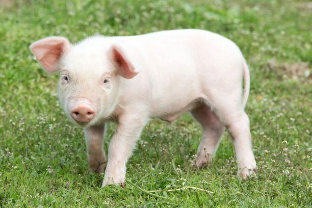 Salaa kuvatulla videolla näkyy silmitöntä julmuutta ja väkivaltaa sikoja kohtaan. Kuvan pikku possu ei liity tapaukseen.