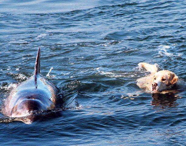 KAVERIT Koira löysi delfiinistä seuraa uintiretkelle Toryn saarella Luoteis-Irlannissa.