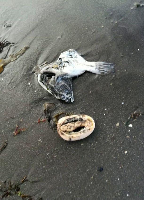 Merestä on huuhtoutunut kuolleita meren eliöitä.
