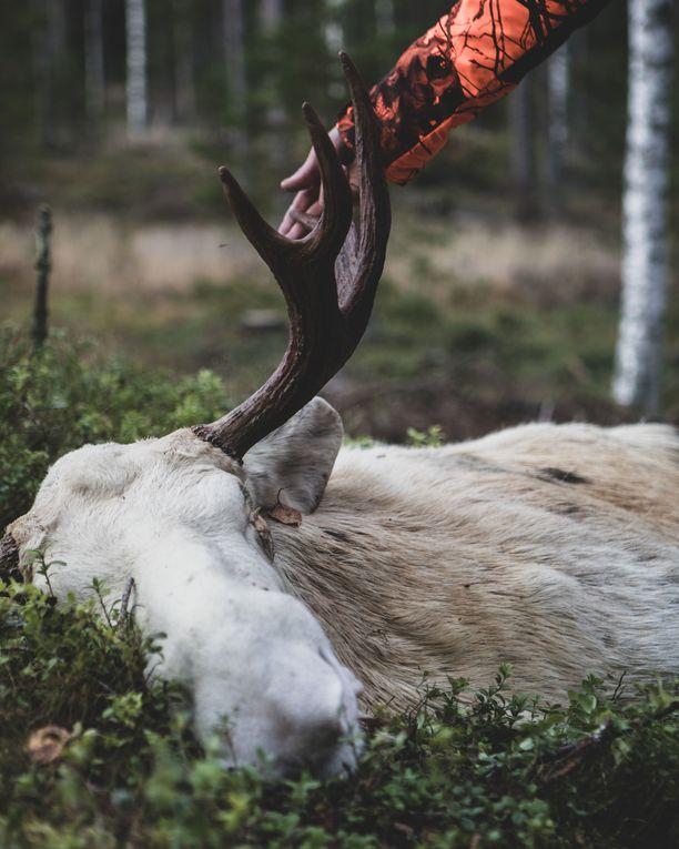 Parkanossa tunnettu valkoinen hirvisonni kaadettiin 27. lokakuuta Ikaalisissa pidetyssä jahdissa.