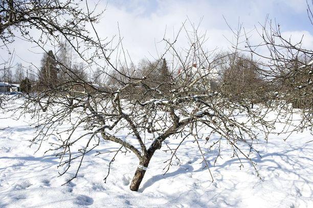 Tämä vanha omenapuu on leikkauksen tarpeessa.