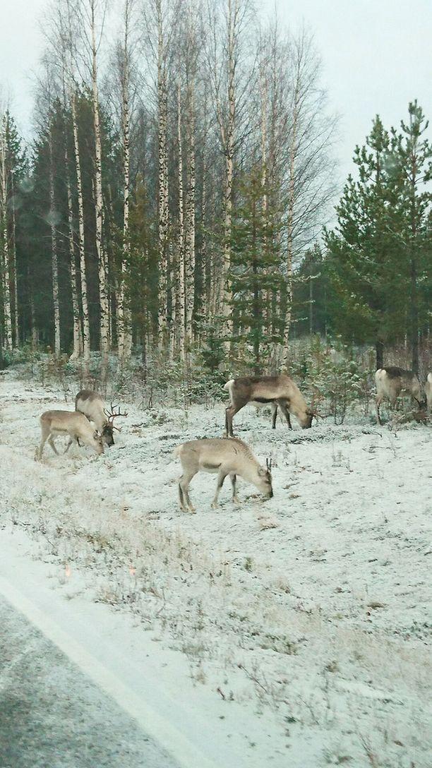Lukija ikuisti porot ja kevyen lumipeitteen Pyhä-Luostolla maanantaiaamuna kello 9.55. Lämpötila oli lukijan mukaan -1,5 astetta.