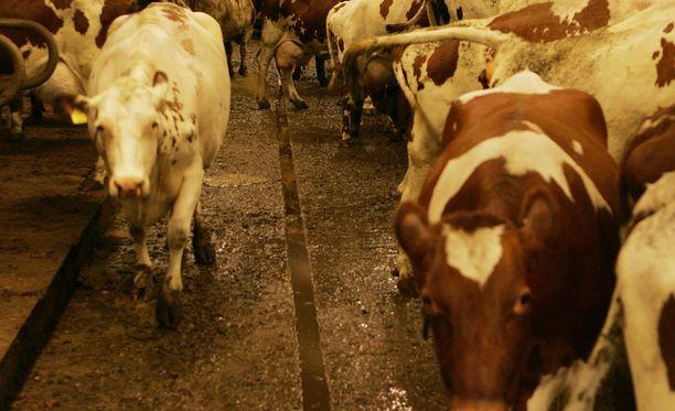 Miestä ei tuomittu eläintenpitokieltoon, vaikka hän nälkiinnytti lampaitaan ja jätti hoitamatta sairastuneita eläimiä. Arkistokuva.