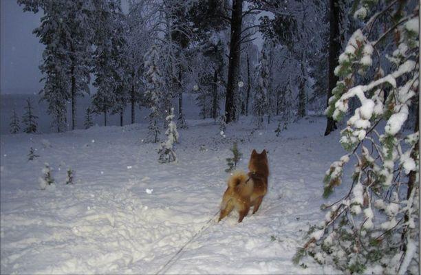 Lappiin tuli lunta maanantaina reippaasti koko päivän aamusta iltaan. Pystykorva hämmästeli muuttuvaa maisemaan Sodankylän Vuotsolla.