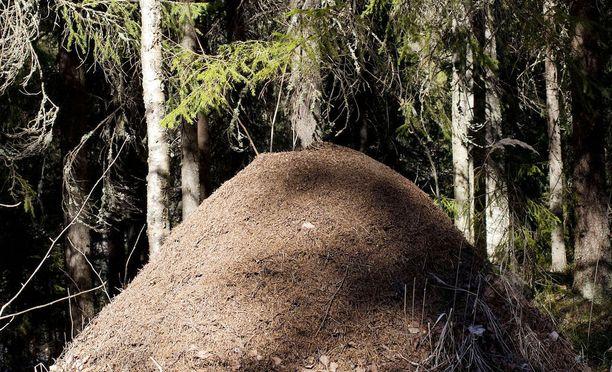 Suomessa asuu tusinan verran kekomuurahaislajeja. Nyt tutkijat haluavat selvittää, miten ne ovat levinneet ympäri Suomea.