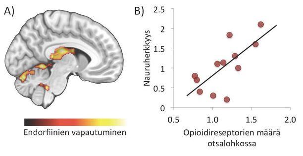 (A) Nauraminen vapauttaa endorfiineja aivoissa. (B) Mitä enemmän opioidireseptoreita tutkittavilla oli, sitä herkempiä he olivat nauramaan.