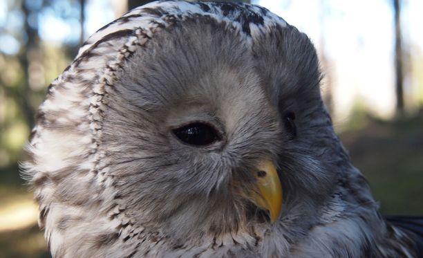 """Viirupöllö (Strix uralensis) on suurin pöntöissä pesivä pöllömme. Pesivä viirupöllöemo on usein """"ärhäkänpuoleinen naaras."""""""