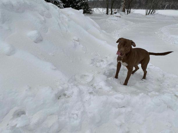 Pitbullterrieri Äijä sai kävellä aamulla erikoisen värisessä lumessa Mustasaaressa Pohjanmaalla.