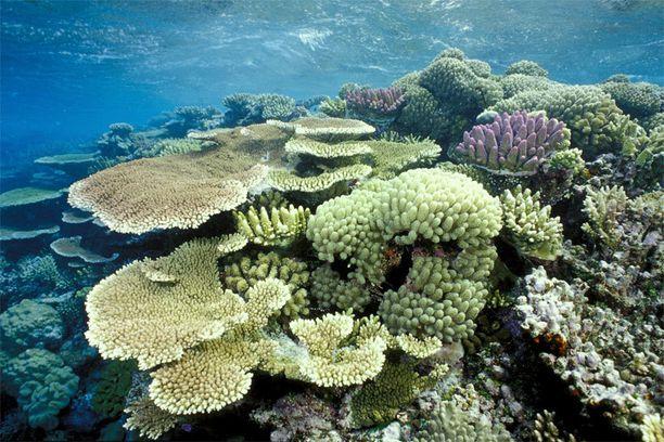 Iso valliriutta on menettänyt 30 vuodessa puolet koralleistaan.
