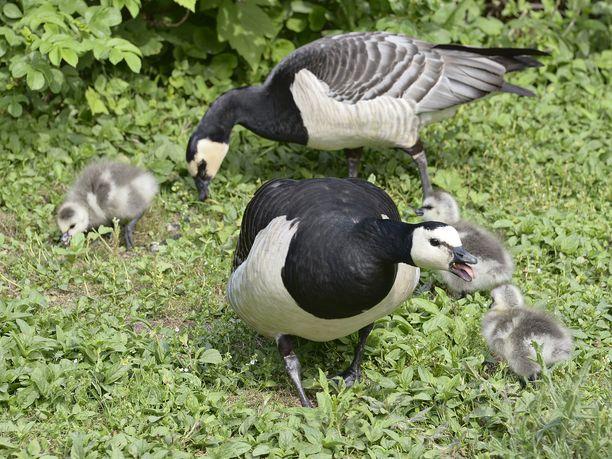 Valkoposkihanhet puolustavat poikasiaan, jos ihmiset menevät liian lähelle. Lintujen jätökset harmittavat pääkaupungissa.