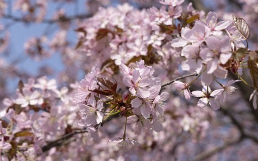 Nupusta kukkaan yhdessä yössä! Katso videolta kuinka Helsingin Roihuvuoren kirsikkapuutarha muuttui 24 tunnin aikana