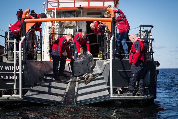 Kyydin hyljeluodolle tarjosi Suomen meripelastusseuran pelastusristeilijä Jenny Wihuri, joka tuli noutamaan kuuttilaatikot saattajineen Korkeasaaren laivarannasta.