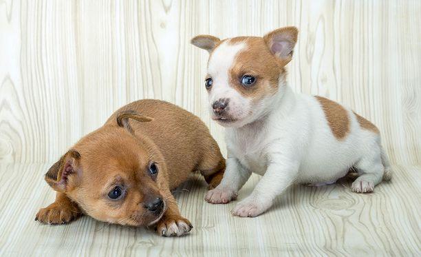Extramäärä sosiaalistamista pentujen ollessa vain 0-6 viikkoa vanhoja vähensi tutkimuksen mukaan muun muassa eroahdistukseen ja koiran käsittelyyn liittyviä ongelmia.