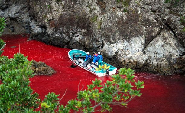 Delfiinien raaka kohtelu jatkuu.