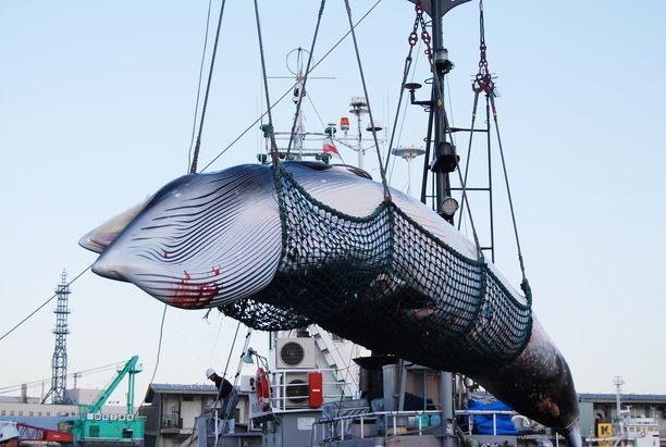 Japani aikoo virallisesti erota Kansainvälisestä valaanpyyntikomissiosta ja aloittaa avoimesti kaupallisen valaanpyynnin aluevesillään. Kuvassa nostetaan lahtivalasta.
