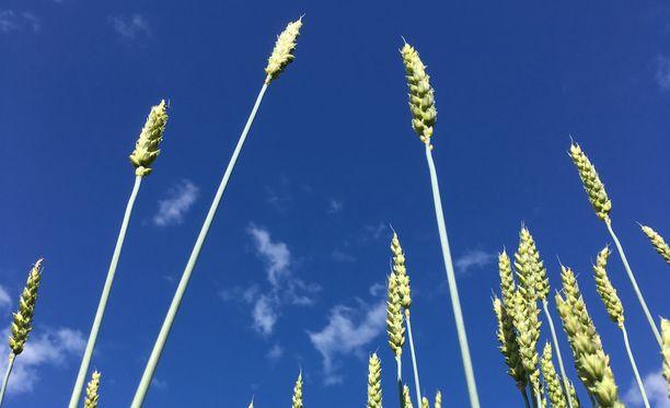 Mustialan tilalla kasvava maatiaisruis kurkottelee kohti taivasta.