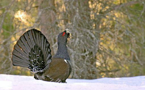Metsäkanalintujen kannat vahvistuneet merkittävästi - metsästys kestää suuressa osassa maata marraskuulle