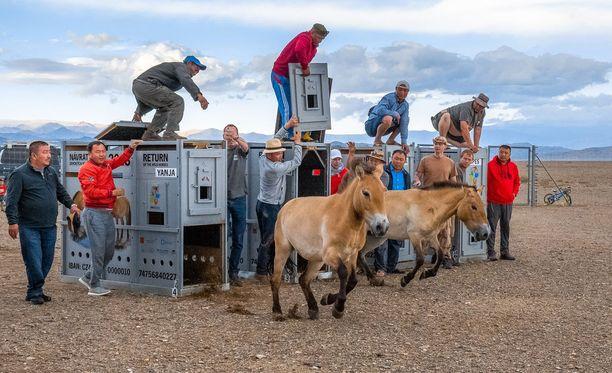 Zürichista tuotu Yanja ja Korkeasaaren Helmi kirmasivat vapauteen Mongolian arolla.