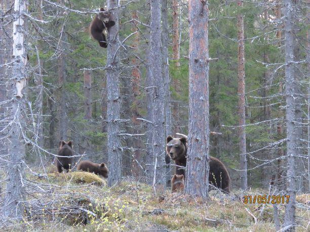Emo kehotti pentuja kiipeämään puuhun kuvaajan nähtyään.
