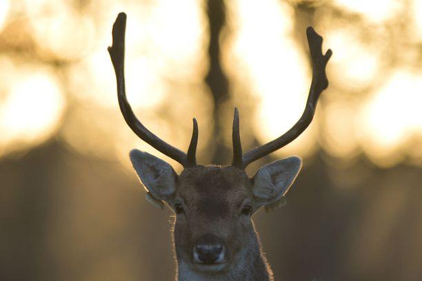 Peuroja saa Wisconsinissa ampua tavanomaisilla tuliaseilla vain reilun viikon ajan. Kuvituskuva.