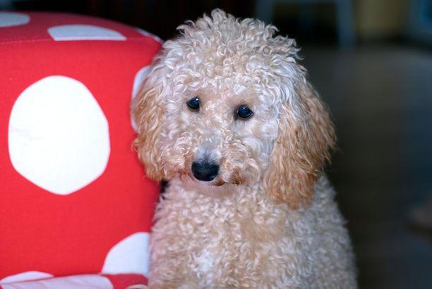 Villakoiranpentu joutui sijaiskärsijäksi. Kuvituskuva. Kuvan koira on jo kahdeksankuukautinen.